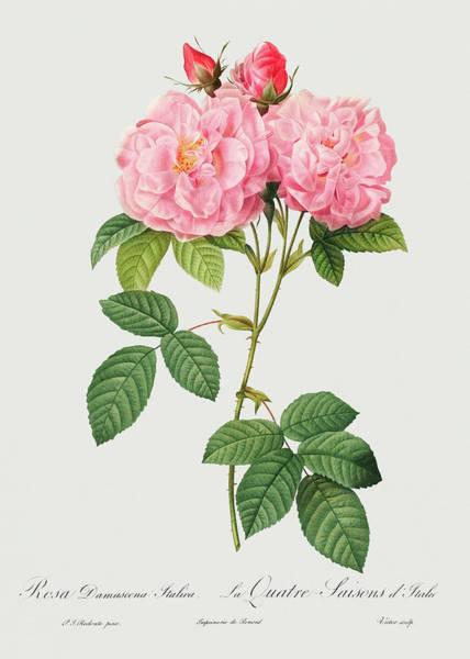 Wall Art - Painting - Rosa Damascena Italica, 1817 by Pierre-Joseph Redoute