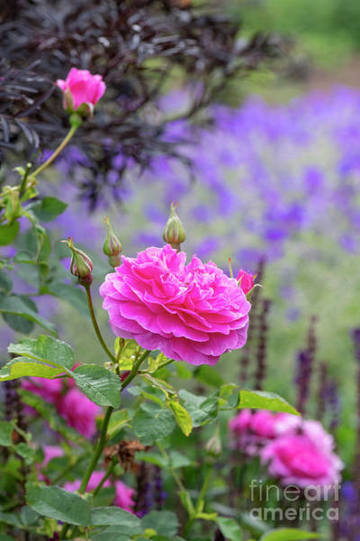 Photograph - Rosa Englands Rose by Tim Gainey