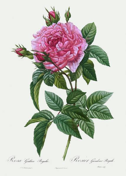 Wall Art - Painting - Rosa Gallica Regalis, 1817 by Pierre-Joseph Redoute