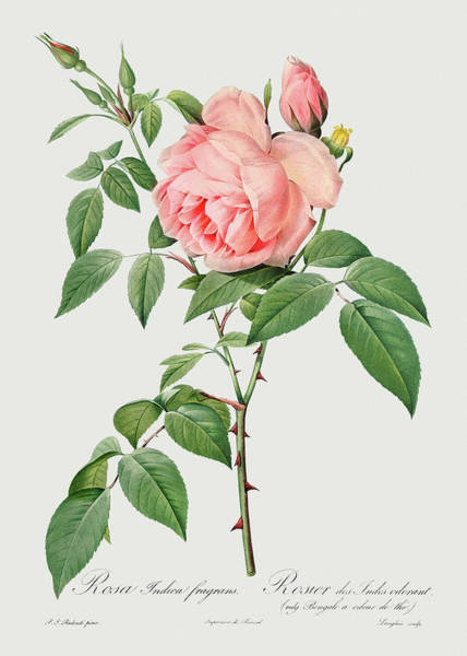 Wall Art - Painting - Rosa Indica Fragrans, 1817 by Pierre-Joseph Redoute