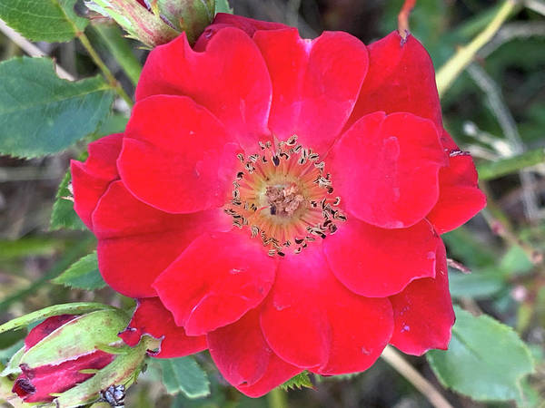 Photograph - Rosa Moyesii Flower by Sean Davey