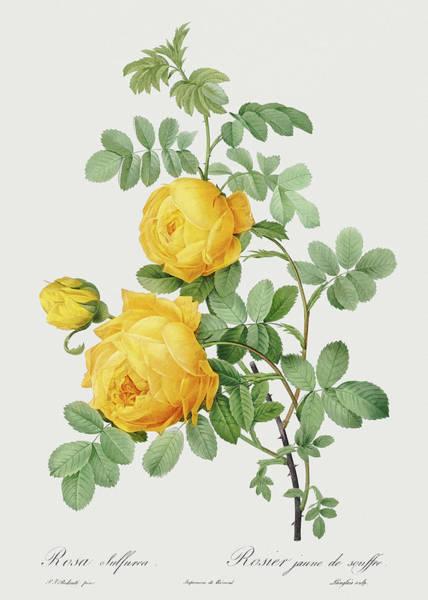 Wall Art - Painting - Rosa Sulfurea, 1817 by Pierre-Joseph Redoute
