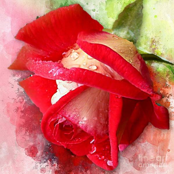 Mixed Media - Rose And Water Drops by Morag Bates