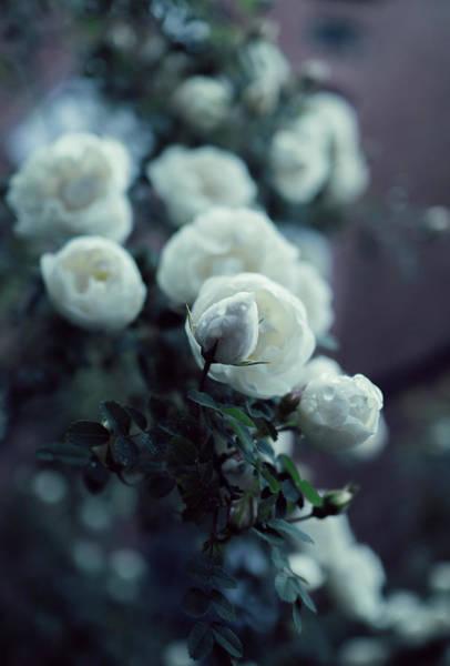 Wall Art - Photograph - Rose Beauty by Sandra Artemjeva