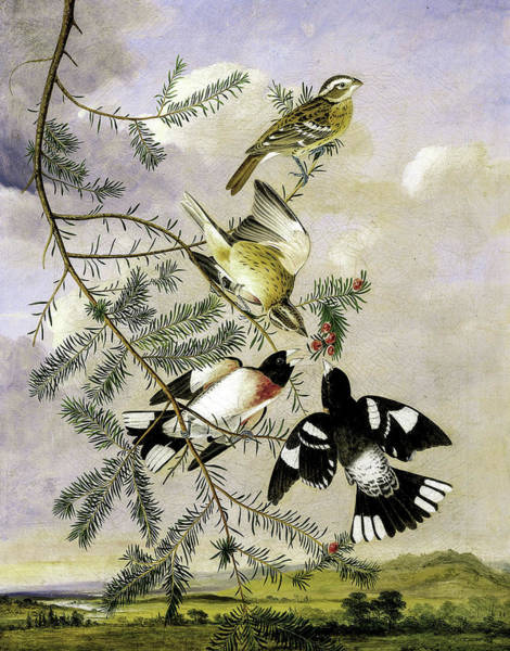 Wall Art - Painting - Rose-breasted Grosbeak by Joseph Bartholomew Kidd
