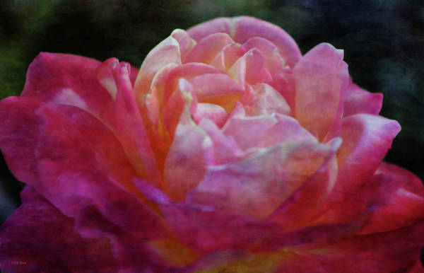 Photograph - Rose Extreme 5482 Idp_2 by Steven Ward