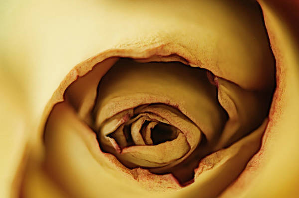 Rockville Photograph - Rose Eye by Maria Mosolova