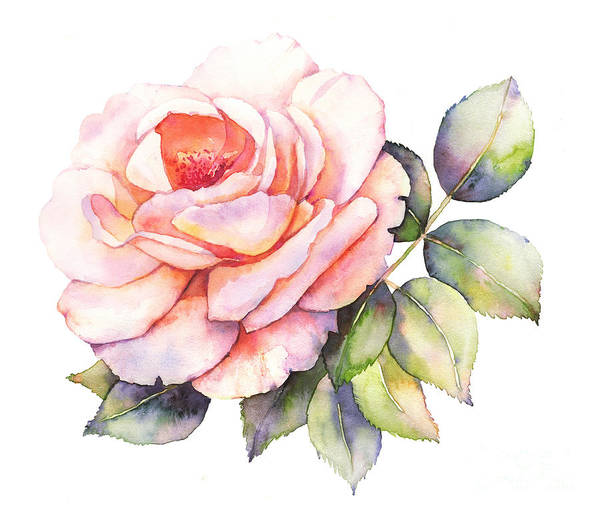 Wall Art - Digital Art - Rose Flower Watercolor Illustration by Anemad