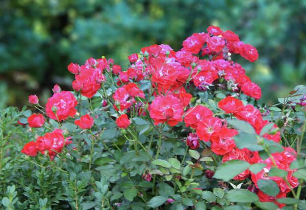 Wall Art - Photograph - Rose Garden In Washington Park by Art Spectrum