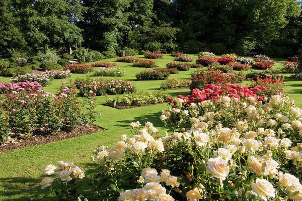 Ornamental Grass Photograph - Rose Garden by Nigelcarse