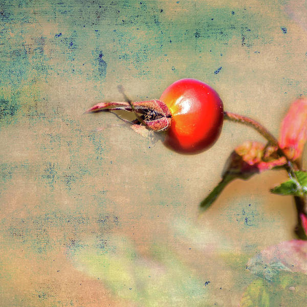 Photograph -       Rose Hip               by Barry Weiss
