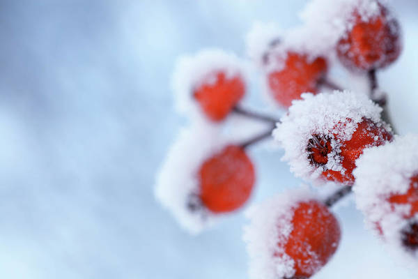 Hip Photograph - Rose Hips In Winter by Lordrunar