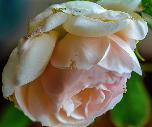 Photograph - Rose #i0 by Leif Sohlman