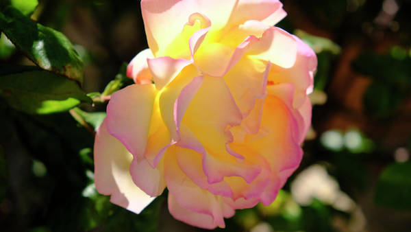 Photograph - Rose Illuminated by August Timmermans