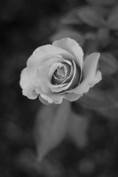Wall Art - Photograph - Rose In Grey #2 by Stephanie Hollingsworth