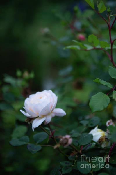 Photograph - Rose by Jenny Potter