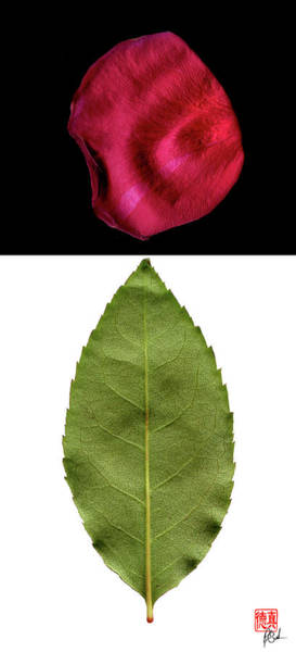 Photograph - Rose Leaf And Petal by Peter Cutler
