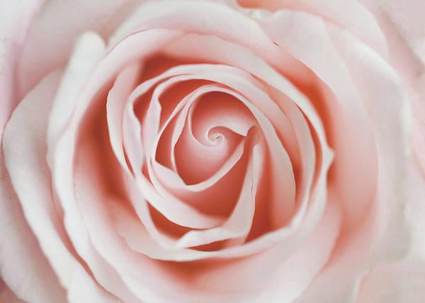 Petal Photograph - Rose by Melissa Deakin Photography