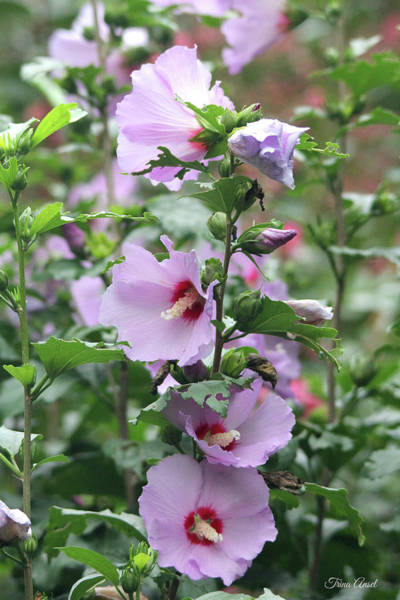 Photograph - Rose Of Sharon Flowers by Trina Ansel
