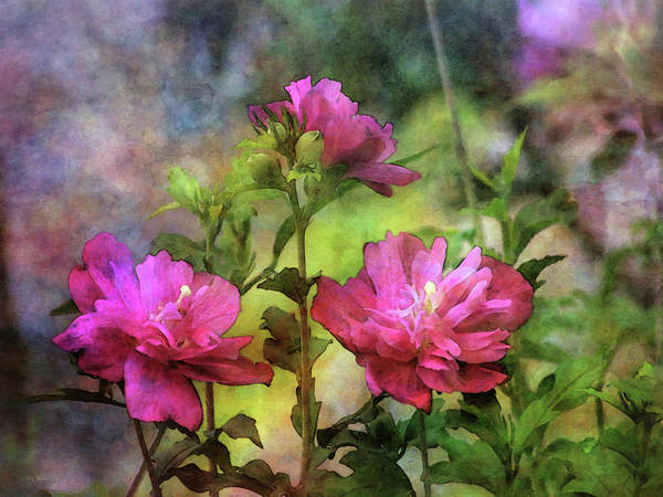 Photograph - Rose Of Sharon Garden 3846 Idp_2 by Steven Ward