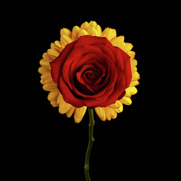 Photograph - Rose On Yellow Flower Black Background by Sergey Taran