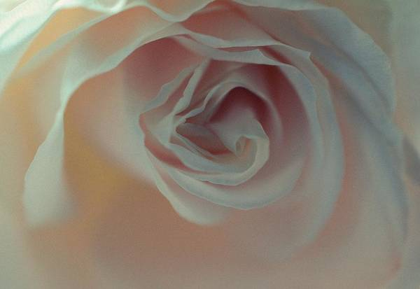 Photograph - Rose - Poetic by Marianna Mills