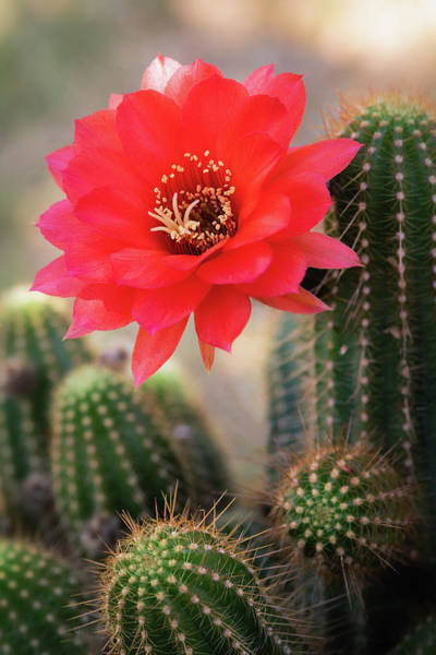Photograph - Rose Quartz Cactus Flower  by Saija Lehtonen