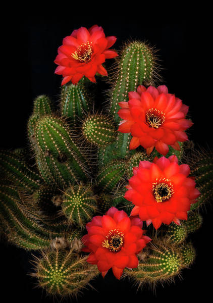 Photograph - Rose Quartz Cactus  by Saija Lehtonen