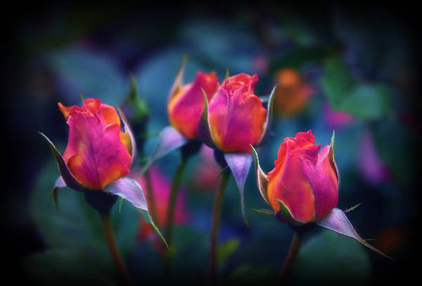 Rose Bud Photograph - Rose Reverence  by Jessica Jenney
