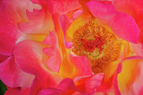 Photograph - Rose Ribbon Swirls by Susan Candelario