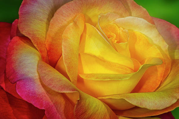 Photograph - Rose Shades And Swirls by Susan Candelario