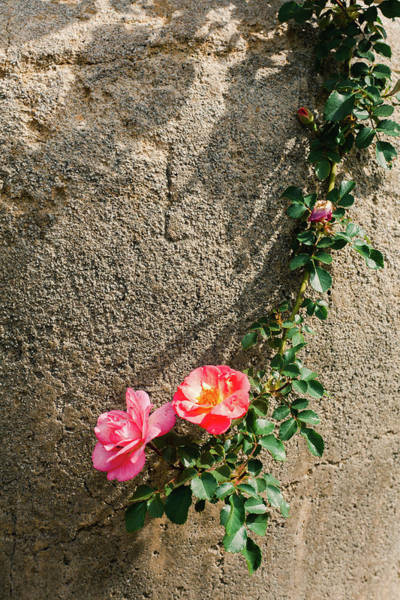 Wall Art - Photograph - Rose Touch by Iris Greenwell