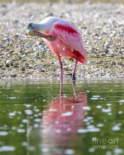 Photograph - Roseate Spoonbil by Susan Rydberg