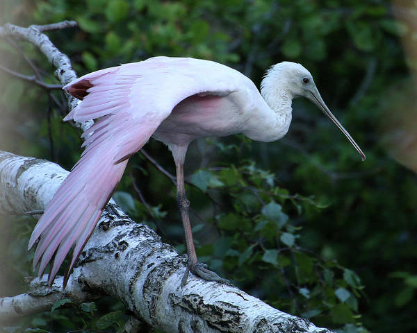 Photograph - Roseate Spoonbill 02 by William Selander