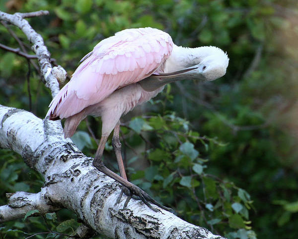 Photograph - Roseate Spoonbill 03 by William Selander