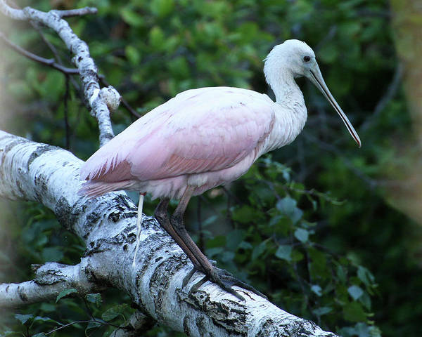 Photograph - Roseate Spoonbill 05 by William Selander