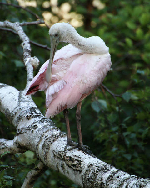 Photograph - Roseate Spoonbill 10 by William Selander