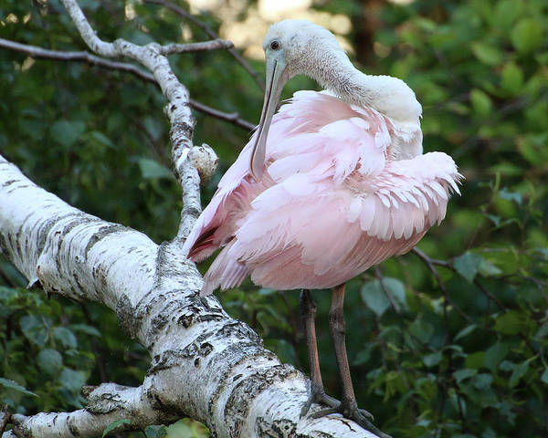 Photograph - Roseate Spoonbill 14 by William Selander