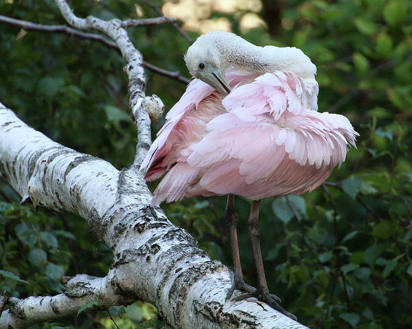 Photograph - Roseate Spoonbill 18 by William Selander