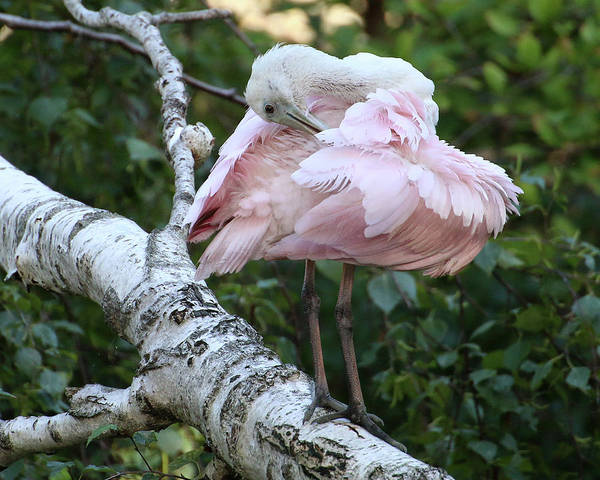 Photograph - Roseate Spoonbill 19 by William Selander