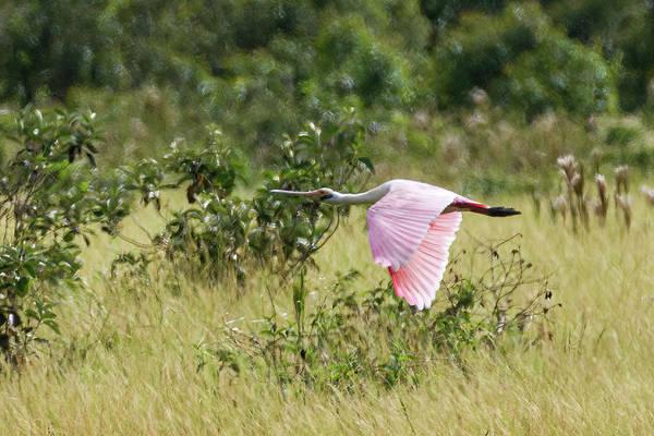 Photograph - Roseate Spoonbill Hato Barley Tauramena Casanare Colombia by Adam Rainoff