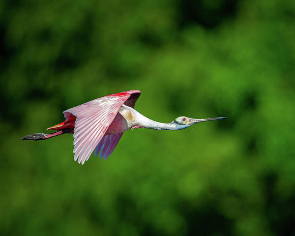 Photograph - Roseate Spoonbill by Jeff Phillippi