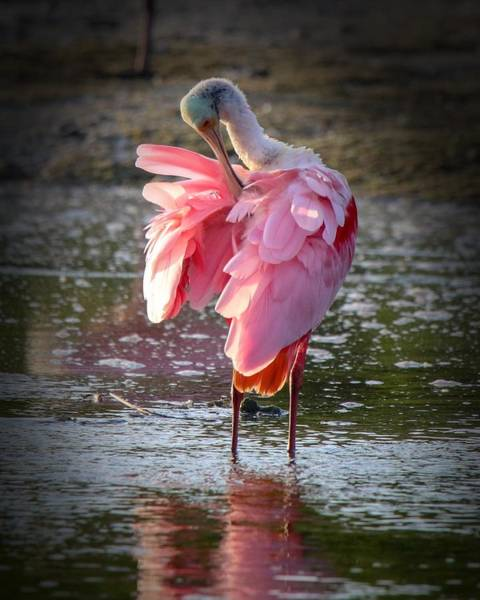 Photograph - Roseate Spoonbill by Susan Rydberg