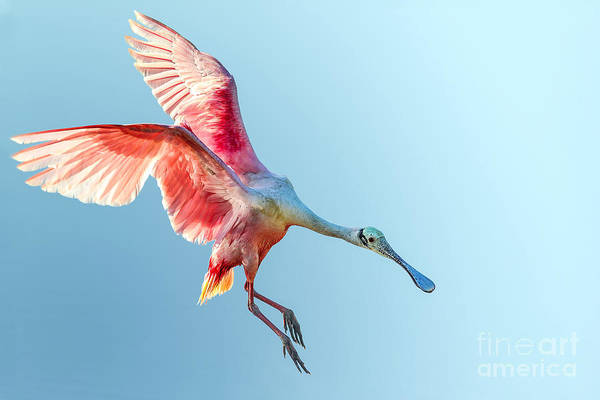 Wall Art - Photograph - Roseate Spoonbill With Wings Flared And by Floridastock
