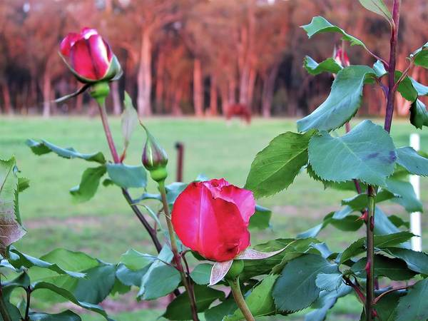 Photograph - Roses And Horse by Joan Stratton