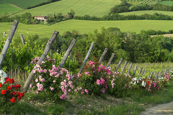 Wall Art - Photograph - Roses Line The Ends Of Vineyard Rows by Brenda Tharp