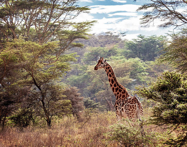 Wall Art - Photograph - Rothschild Giraffe In Lake Nakuru Kenya by Susan Schmitz