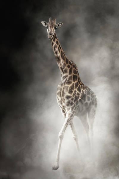 Wall Art - Photograph - Rothschilds Giraffe In The Dust by Susan Schmitz