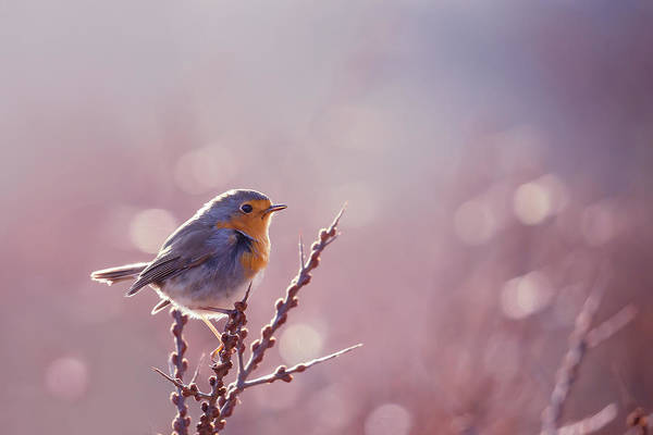 Wall Art - Photograph - Rouge-gorge Or European Robin In Winter Modus by Roeselien Raimond
