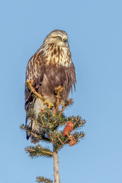 Photograph - Rough Legged Hawk by Ronnie and Frances Howard